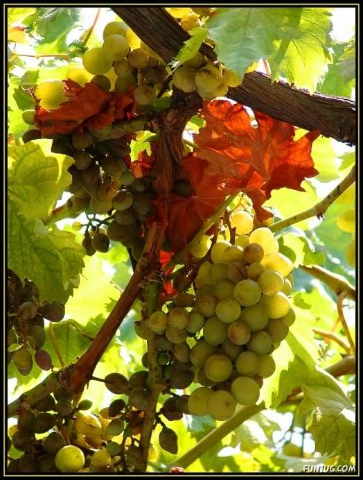 Sweet Grapes from Around The World